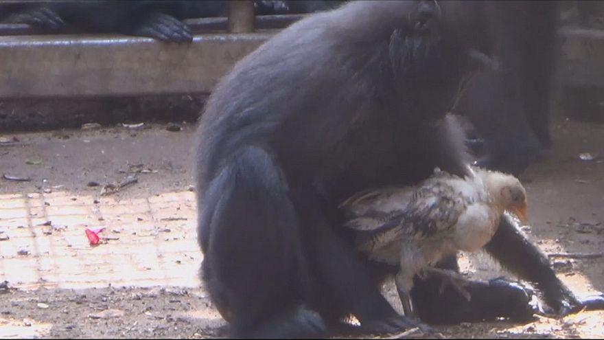 Le macaque persuadé d'être la mère d'un poulet