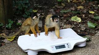London Zoo holds annual weigh-in