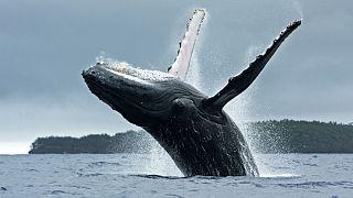 Στον ωκεανό επέστρεψε μεγάπτερη φάλαινα