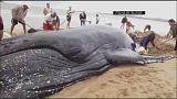 Beached whale rescued in Brazil