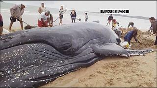 13,7 metre uzunluğunda balina sahile vurudu