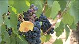 France : la production de vin en baisse, mais un millésime exceptionnel