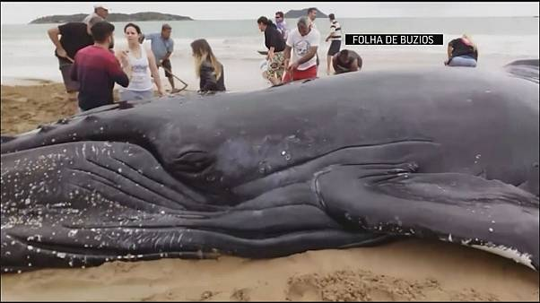Ballena varada en la playa regresa al océano