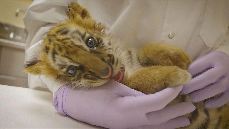 Cria de tigre resgatada na fronteira México-Estados Unidos