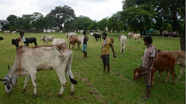 مقتل رجلين مسلمين في الهند بحجة حماية الأبقار