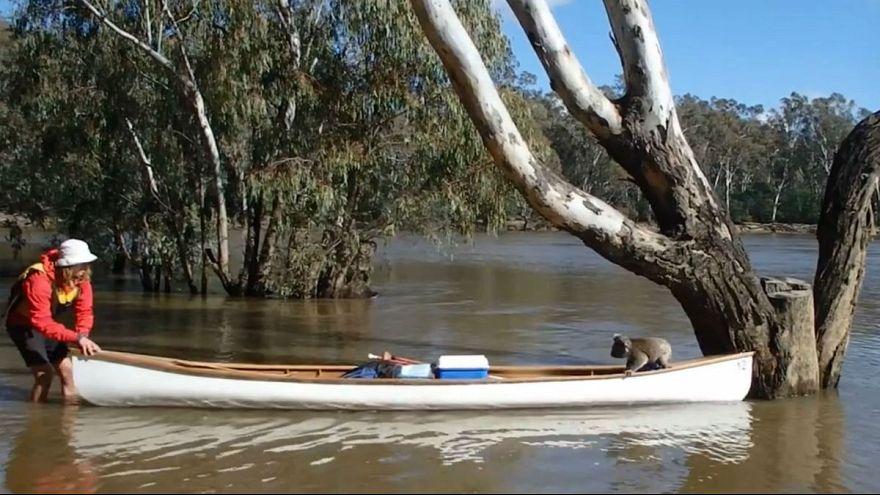 Un koala secouru par des étudiants en Australie
