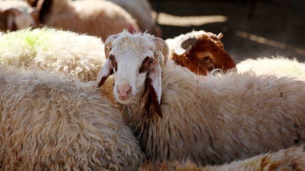تحذيرات من ظاهرة انتشار غش الاضاحي في المغرب