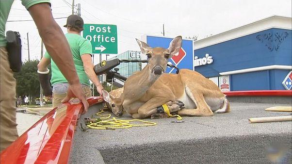 Harvey Kasırgası sonrası hayvan kurtarma operasyonu yapıldı