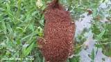 Colonies of fire ants float around flooded Texas streets