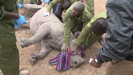Kenya : opération encochage d'oreilles pour les rhinocéros [no comment]