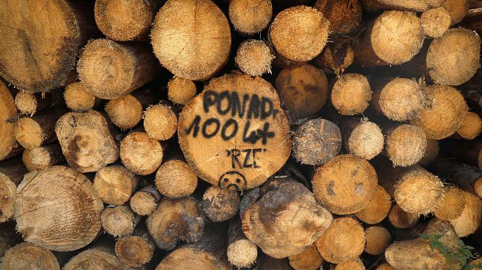Protests at Polish logging of ancient forest