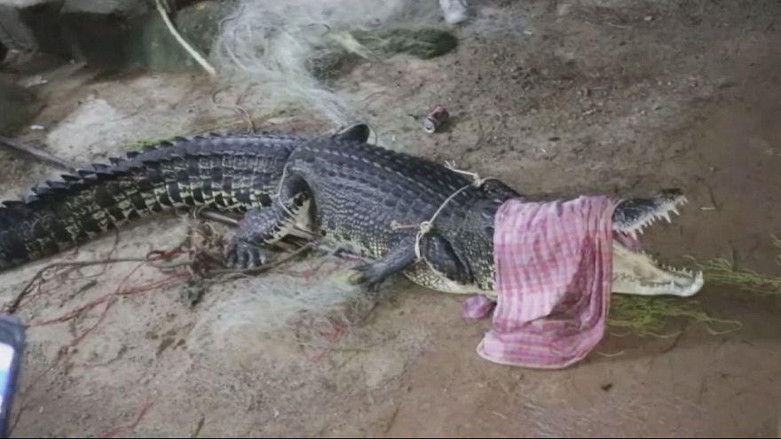 Гигантского крокодила поймали на курорте в Таиланде