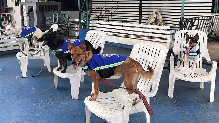 سترات ذكية تحول الكلاب الضالة إلى حراس للشوارع في تايلاند