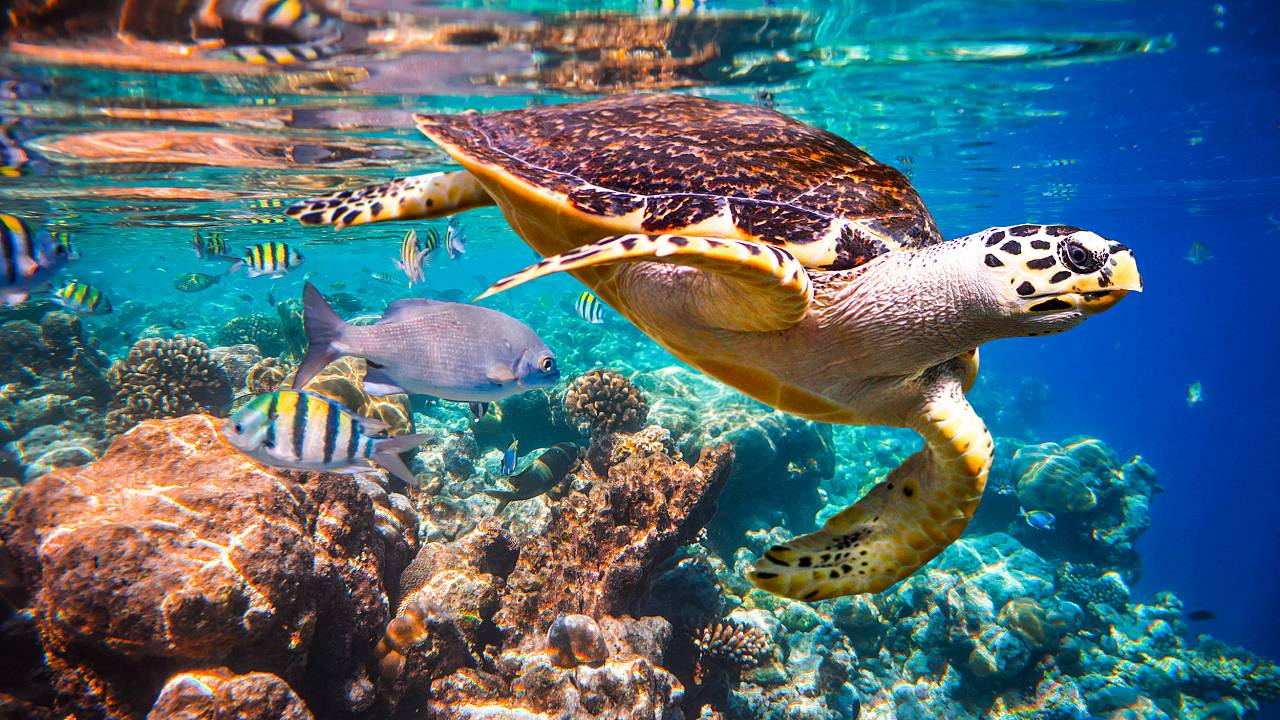 Image: Hawksbill turtle