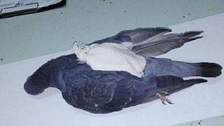 Arjantin polisi hapishaneye uyuşturucu taşıyan 'kurye kuşu' vurdu
