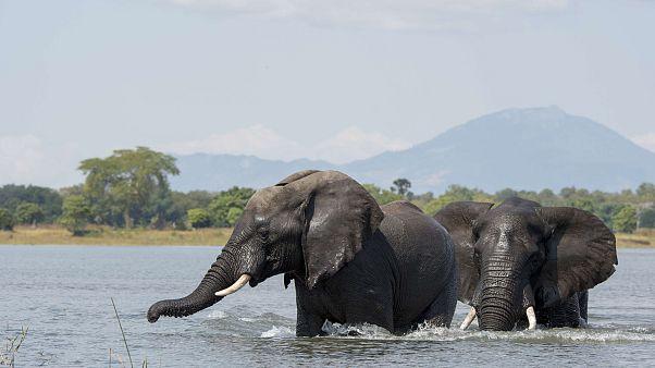 Image: African elephant bulls