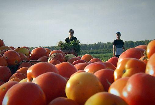 Tomates do deserto