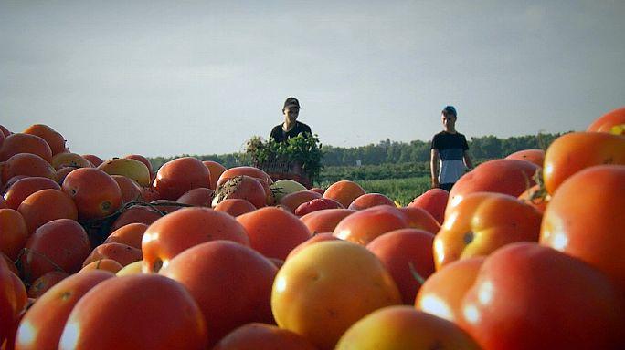 کاشت گوجه فرنگی های خوش طعم، خوش رنگ و مقاوم در برابر خشکسالی
