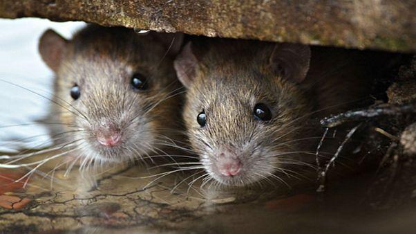 Ratten attackieren behinderte Samantha (14) nachts im Bett
