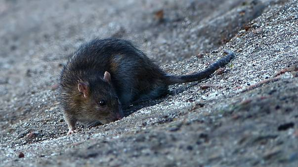 Girl mutilated by rats in her sleep