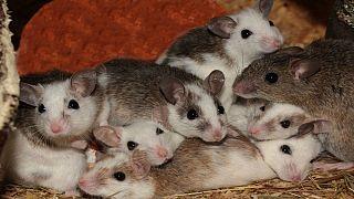 فرانسه؛ روایت پدر دختری که موشها در خواب جویدندش