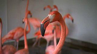 """طائر """"الفلامنجو الوردي"""" الرقيق لا يقوى على إعصار إيرما !"""