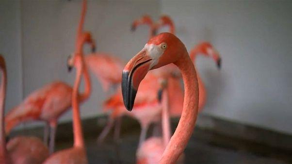 """طائر """"الفلامنجو الوردي"""" الرقيق لا يقوى على إعصار إيرما!"""