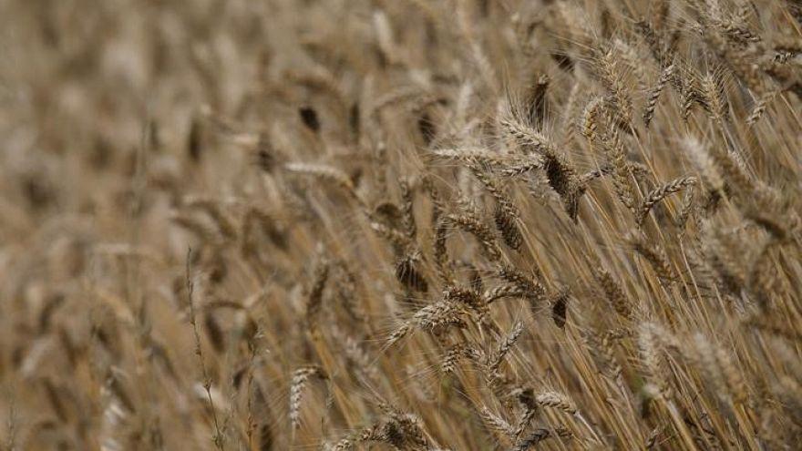شحنة قمح فرنسية ملوثة ببذور الخشخاش تُمنع من الدخول إلى مصر