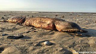 ظهور كائن بحري غريب على شاطئ تكساس بعد إعصار هارفي