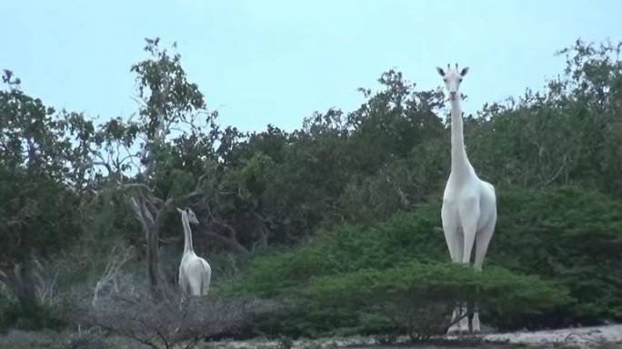 Rare white giraffes spotted in Kenya