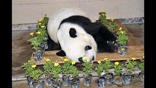 Умерла самая старая панда в мире