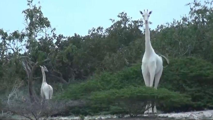 شاهد: زرافتان بيضاوان في حديقة كينية