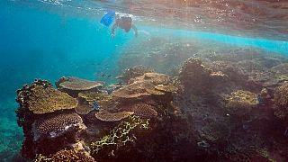 Lumaca gigante contro stella marina, lotta biologica per la barriera corallina