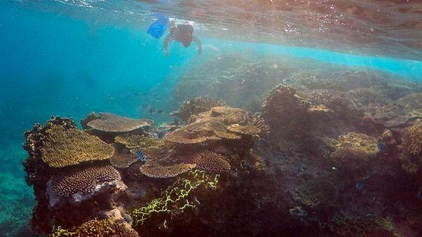 Unter-Wasser-Krimi: Riesenschnecke vs. Killer-Seestern