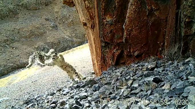 Watch: Snow leopard cubs captured in mountains