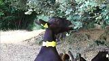 Spanien: Ziegenfeuerwehr gegen Waldbrände