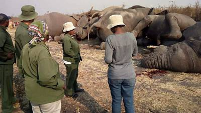 Nine elephants electrocuted while drinking water from leaked pipe in Botswana