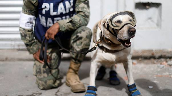 Rescue dog hailed as hero after joining search for Mexico earthquake survivors