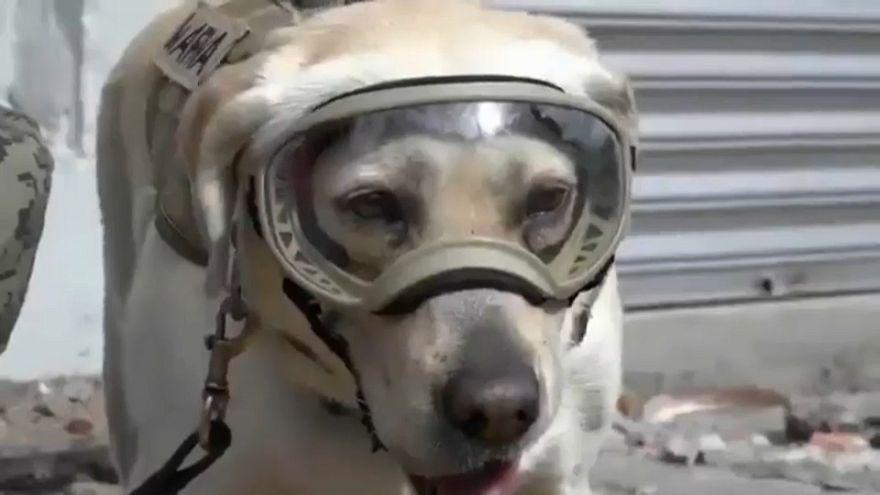 Frida, la heroína canina del terremoto en México