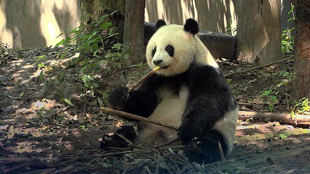 Tourisme durable : les pandas de Chengdu donnent l'exemple