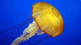 Anche le meduse dormono, eccezionale scoperta in California