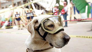 """الكلبة """"فريدا"""" منقذة ضحايا زلزال المكسكيك"""