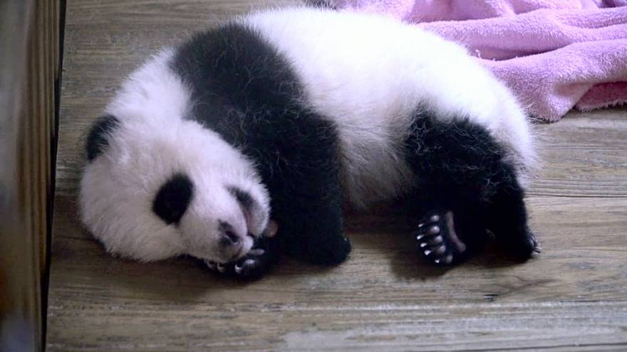 Cute alert! Dinner time for young giant pandas