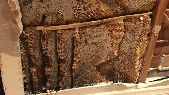 النحل يغزو منزلا في أستراليا