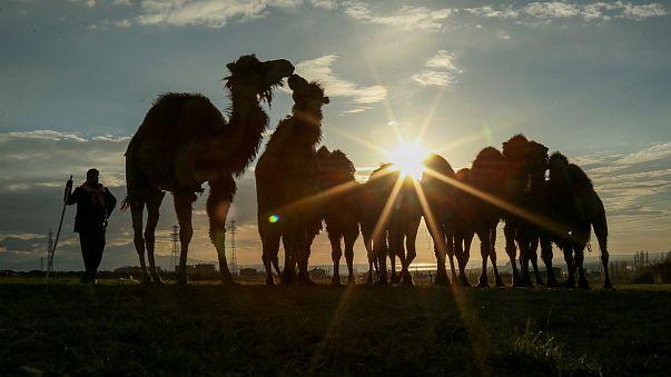 Katar'ın develeri yarışlardan men edildi