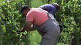 كروم العنب الفرنسية الوجهة المفضلة لعمال دول شرق أوروبا