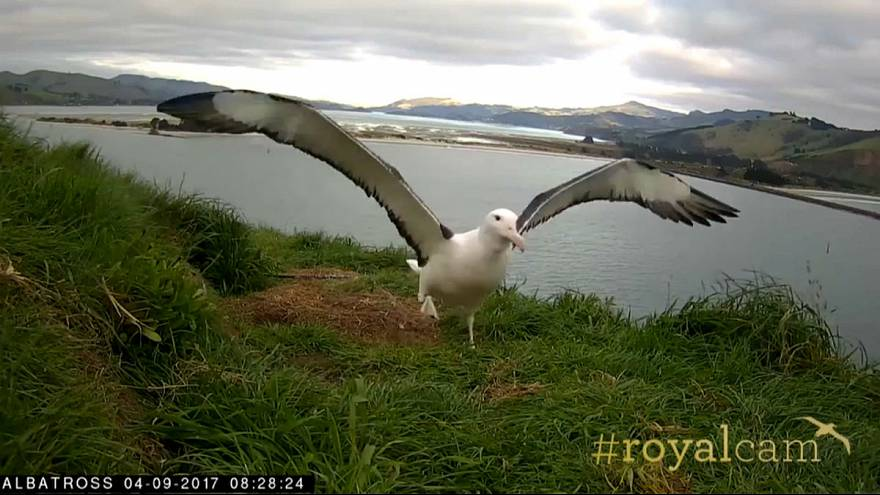 Watch: Endangered young albatross takes to the skies for the first time