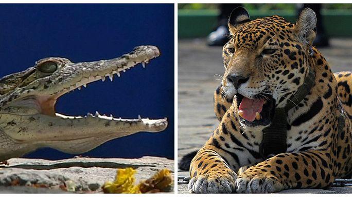 بالصور: مواجهة مميتة بين فهد وتمساح