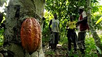 Ghana to commence the 2017/2018 cocoa season in October