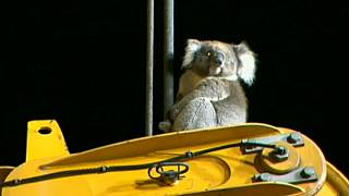 Спасите коалу!
